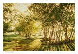 Bamboo grove,  Kauwii 1988