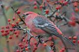 Pine Grosbeak (m)