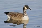 Canada Goose (partially leucistic)