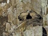 EURASIAN GRIFFON VULTURE - GYPS FULVUS - VAUTOUR FAUVE