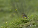 EUROPEAN GREENFINCH - CARDUELIS CHLORIS - VERDIER D'EUROPE