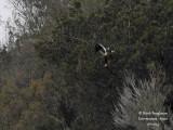 Sp Imp Eagle