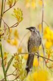 Red wattlebird
