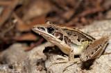 Litoria nasuta - striped rocket frog