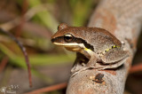 Green-thighed frog - Litoria brevipalmata