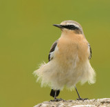 Tapuit- Northern Wheatear