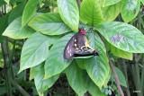 IMG_7805 cairns birdwings