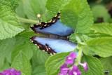 IMG_8010  blue morpho