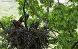 Oil Creek State Park Bald Eagle Family