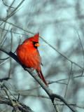 Northern Cardinal IMG_1362.jpg
