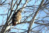 Red Tail Hawk IMG_1477.jpg