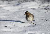 Song Sparrow IMG_1139.jpg
