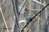 American Tree Sparrow IMG_1619.jpg