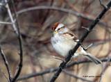 American Tree Sparrow IMG_1627.jpg
