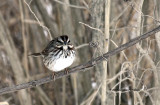Song Sparrow IMG_9474.jpg
