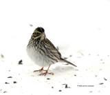 Song Sparrow juvenile IMG_9467.jpg