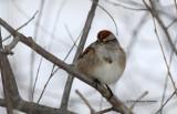 Tree Sparrow IMG_9280.jpg