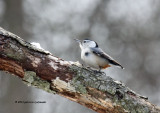 White-breasted Nuthatch IMG_9590.jpg