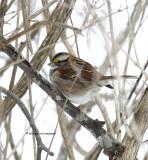 White-throated Sparrow IMG_9513.jpg
