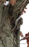 Brown Creeper IMG_9544.jpg
