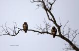 Red-tail Hawks IMG_0290.jpg