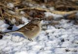 American Tree Sparrow IMG_0843.jpg