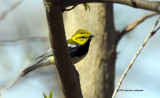 Black-throated Green Warbler IMG_5060.jpg