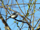 Blue-gray Gnatcatcher IMG_4539.jpg
