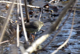 Northern Water-thrush IMG_4826.jpg