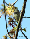 Ruby-crowned Kinglet IMG_4717.jpg