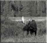 Large Bull Moose Up Close