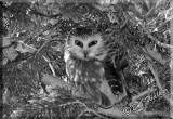 A Northern Saw-whet Owl With It's Meal Nearby