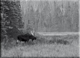 Larg Bull Moose At Forest Edge