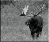 Very Large Bull Moose Stands Watching