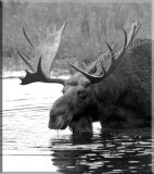 The Large Bull Moose Takes A Drink