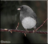 Winter Dark-eyed Junco