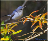 Blue-gray Gnatcatcher (Polioptila caerula) Gallery