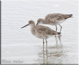 Willets Shore Birds Were On The Beach In Search Of Food