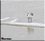 A Sanderling (Calidris alba) Shore Bird Wading In The Surf