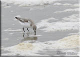 A Sanderling Shore Bird Foraging In The Surf