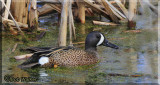 A Blue-winged Teal (Anas discors)  Among The Reeds