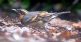 bard_owl_redtailed_hawk_and_yard_birds