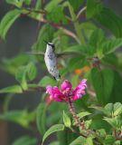 hummingbird female 00628-19-06.jpg