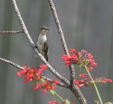 hummingbird male juvie 0311 8-27-06.jpg