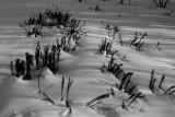 Ferns in a winter snow. _MG_4836.jpg