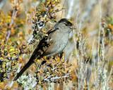 Sparrow, Golden-crowned