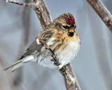 Redpoll, Common