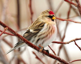 Redpoll Common D-101.jpg