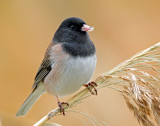 Junco, Dark-eyed (Oregon)