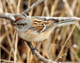 Sparrow, Amerian tree